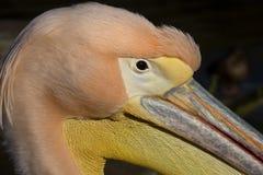 Portarit męski Wielki Biały pelikan, Pelecanus onocrotalus Obraz Royalty Free