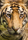 Portarit of a royal bengal tiger. Closeup shot of a royal bengal tiger Stock Photography