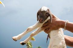Porte de petits moutons ou agneau de bébé Photo stock