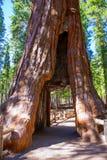 Porte de séquoia dans le verger de Mariposa chez Yosemite la Californie photo stock