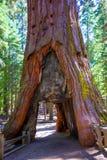 Porte de séquoia dans le verger de Mariposa chez Yosemite la Californie images stock
