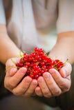 Porte des fruits fraîchement l'homme de mains de groseille rouge photo libre de droits