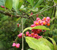 Porte des fruits l'euonymus warty (le verrucosus d'Euonymus) Images stock