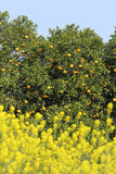 porte des fruits les arbres oranges Photographie stock libre de droits
