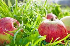 Porte des fruits les pommes mûres, rouges, juteuses se trouvent sur une fin d'herbe verte  Photographie stock libre de droits