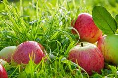 Porte des fruits les pommes mûres, rouges, juteuses se trouvent sur une herbe verte Photo libre de droits
