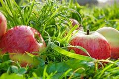 Porte des fruits les pommes mûres, rouges, juteuses se trouvent sur une herbe verte Image stock
