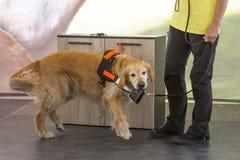 Portefeuille de guide et de chien d'aide Image stock
