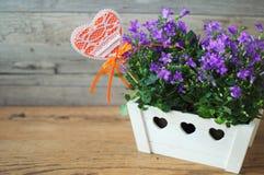 Portenschlagiana pourpre de campanule dans le pot de fleurs en bois blanc sur un fond brun clair Image stock