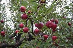 Portent des fruits bien connus sains populaires photographie stock
