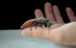 Portentosa Gromphadorhina таракана ` s Мадагаскара Стоковая Фотография
