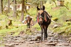 Porter donkey. Nepal Stock Image