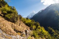 A porter with loads walking a scenic trail towards Mount Machapuchare Royalty Free Stock Photography
