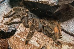 Porteri Grammostola Tarantula που απομονώνεται Στοκ φωτογραφία με δικαίωμα ελεύθερης χρήσης