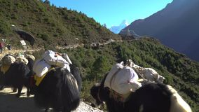 Porters and yaks on the trail in the Himalayas. The path leads to the base camp of Everest. Nepal stock footage