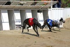 Portes démarrantes pour des chiens de course de lévriers Images libres de droits