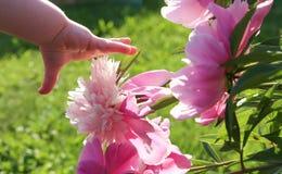 Portées de la main de l'enfant pour la fleur Photos stock