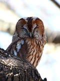Portet owl. Strix aluco. Royalty Free Stock Photo