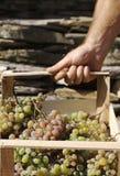 Portez les raisins Photos stock