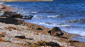 Sea lions on the beach, Scotland stock video footage