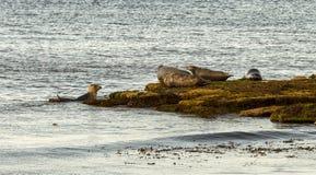 Portgordon foki fotografia stock