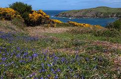 Porth Wen Gorse and bluebells Stock Image