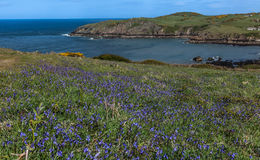 Porth Wen Gorse and bluebells Royalty Free Stock Photo