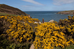 Porth Wen Gorse and bluebells Stock Photography