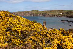 Porth Wen Gorse Royalty Free Stock Photos