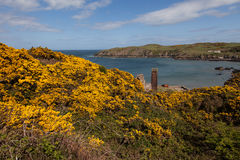 Porth Wen Gorse Royalty Free Stock Photo