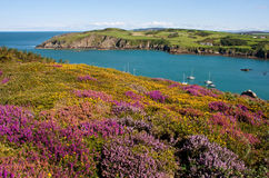 Porth Wen heather and gorse Stock Images