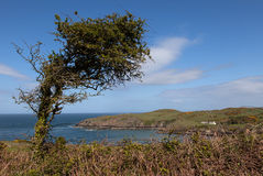 Porth Wen Tree Royalty Free Stock Images