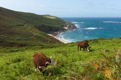 Portheras Cornwall on the Cornish coast South West of St Ives. Portheras Cove Cornwall on the Cornish coast South West of St Ives with cows and countryside Royalty Free Stock Photography