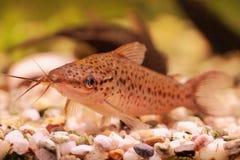 Porthole catfish (Dianema longibarbis) royalty free stock photo