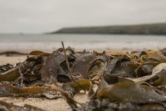 Porthor και οι σφυρίζοντας άμμοι, Ουαλία - φύκια στοκ φωτογραφίες με δικαίωμα ελεύθερης χρήσης