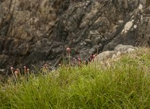 Porthor, las arenas que silban, País de Gales del norte - hierba verde y flores rosadas Foto de archivo libre de regalías
