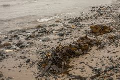 Porthor And The Whistling Sands - seaweed and stones. . This image shows the Whistling Sands beach in North Wales, Porthor. It was taken on a moody, cloudy day stock photo