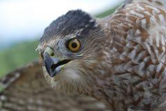 Porthrait du faucon du tonnelier Image libre de droits