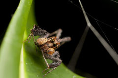 Portia蜘蛛-最聪明的蜘蛛在世界上 免版税库存照片