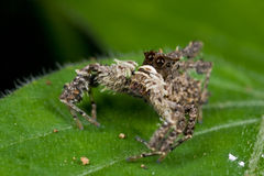Portia spider Royalty Free Stock Photography