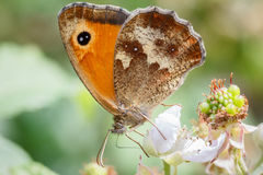 Portier Butterly Image stock