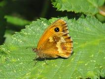 Portiera lub żywopłotu Brown motyl przy odpoczynków skrzydłami zamykającymi Obraz Royalty Free