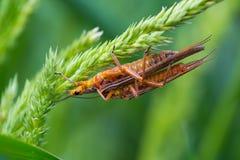 Portilla de oro Deschutes de Stonefly Salmonfly imagen de archivo libre de regalías
