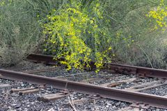Portion of an abandoned railroad track overgrown with shrubs and trees. Abandoned railroad track overgrown with blooming palo verde trees royalty free stock images