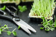 Portion of Cutted Cress Royalty Free Stock Photos