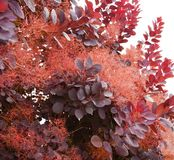 Portion of Smoke Tree Royalty Free Stock Images