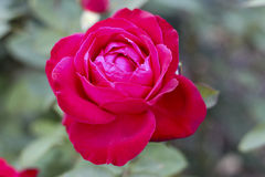 Portland Orégon Rose Garden Photos libres de droits