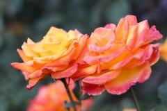 Portland Orégon Rose Garden Photos stock