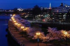 Portland Oregon Cherry Blossoms na baixa na mola foto de stock