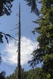 Portland Oregon Forest Hike - albero solo Immagini Stock Libere da Diritti